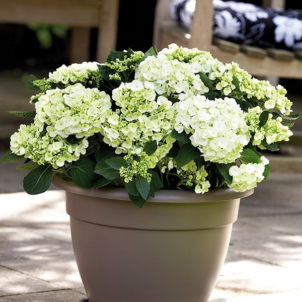 Hydrangea 'Bombshell' and pot combination