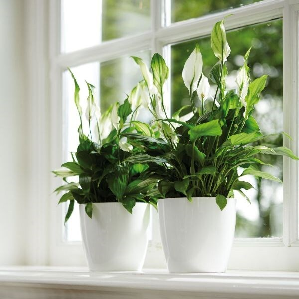 Spathiphyllum 'Bellini' - peace lily  & pot cover combination