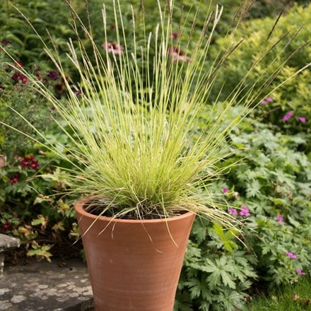 Sesleria and empoli pot combination