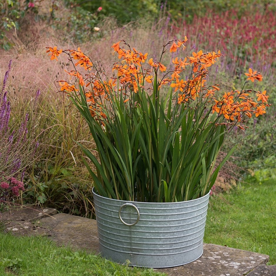 Crocosmia & ribbed planter combination