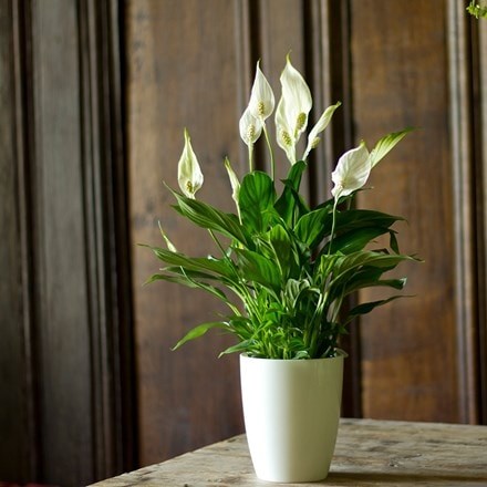 Spathiphyllum and pot cover