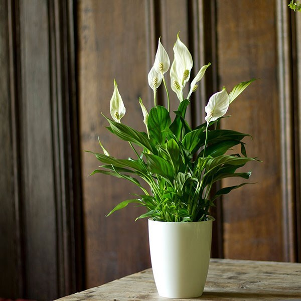 Spathiphyllum & white high pot cover combination