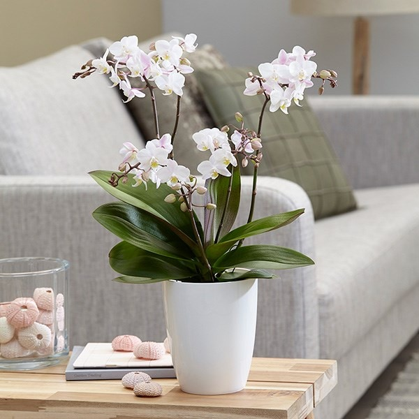 Phalaenopsis 'Blush Pink Willd' Orchid & orchid pot cover combination