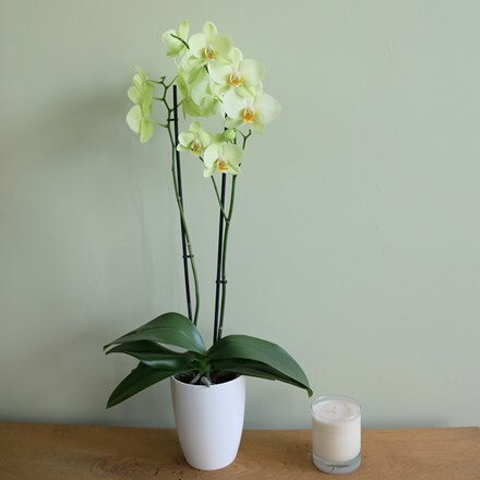 Phalaenopsis Alassio and pot cover