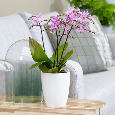 Phalaenopsis Pink Willd Orchid and pot cover