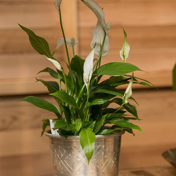 Spathiphyllum 'Bellini' - peace lily & aluminium pot combination
