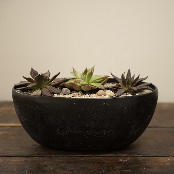 3 Echeveria starter plants & a rough cast charcoal black aluminium bowl