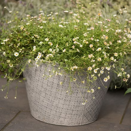 3 x Erigeron karvinskianus and a embossed aged planter
