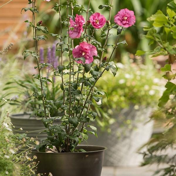 Hibiscus syriacus Magenta Chiffon & a spun metal planter - antique brass