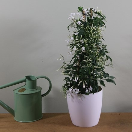 Jasmine and pot cover