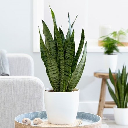 Sansevieria zeylanica and pot cover