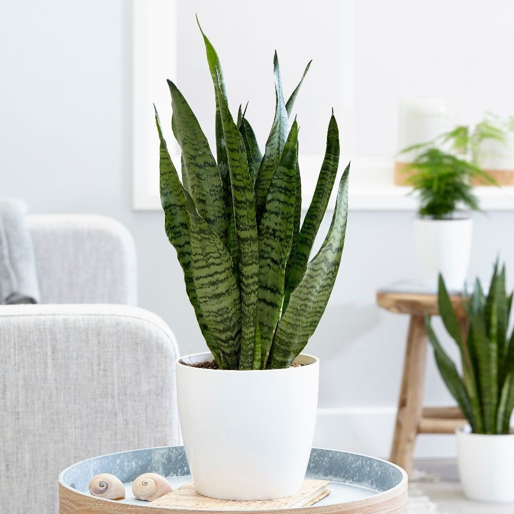 snake plant - Sansevieria zeylanica & pot cover combination