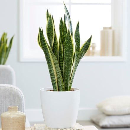 Sansevieria laurentii and pot cover