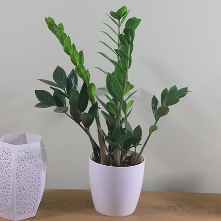 Zamioculcas zamiifolia and pot cover