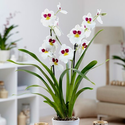 Miltoniopsis Herr Alexander and pot cover combination