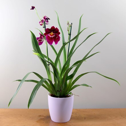 Miltoniopsis Newton Falls and pot cover combination