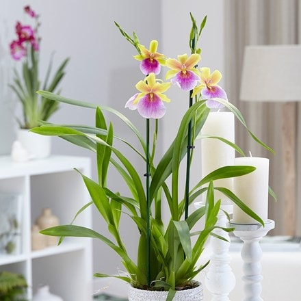 Miltonia Sunset and pot cover