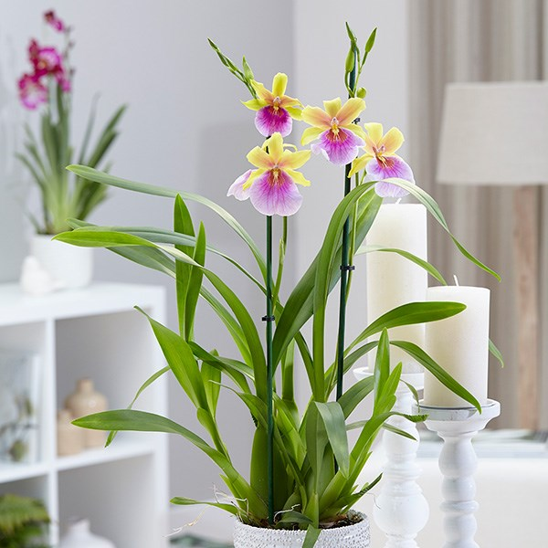 Miltonia 'Sunset' & pot cover combination