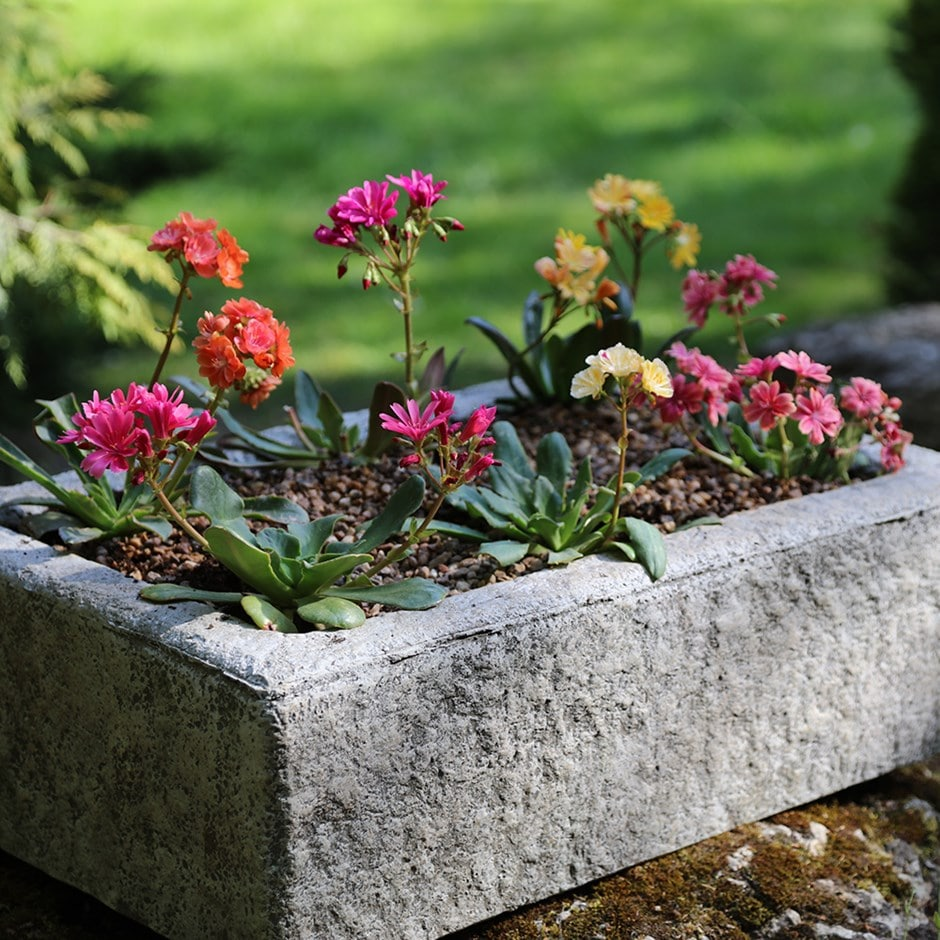 Lewisia collection and alpine trough