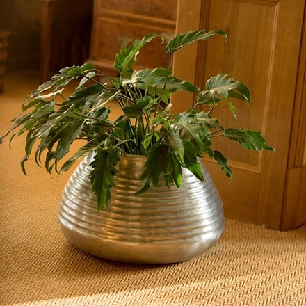 Philodendron xanadu & aluminium ribbed pot