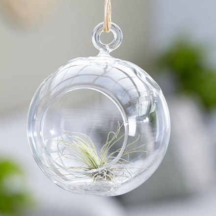 Tillandsia argentea in a hanging glass globe