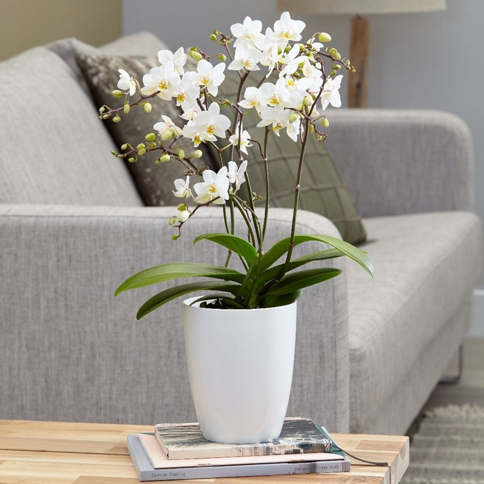 Phalaenopsis 'White Willd Orchid' - moth orchid & pot cover combination