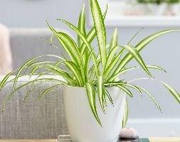 Chlorophytum comosum Variegatum and pot cover