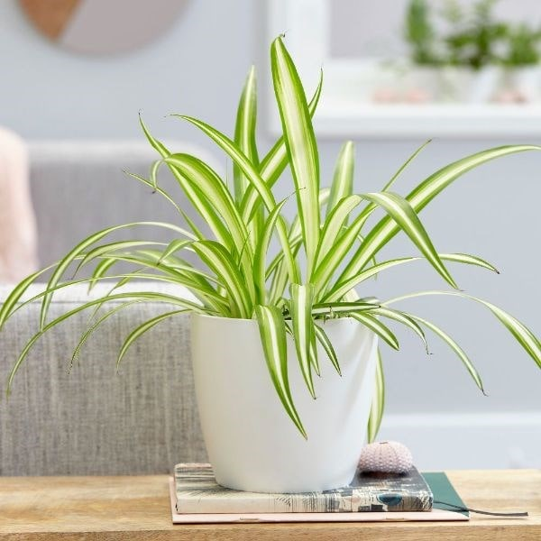 Chlorophytum comosum 'Variegatum' - spider plant & pot cover combination