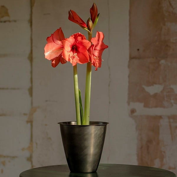 Amaryllis Royal Red and spun metal planter