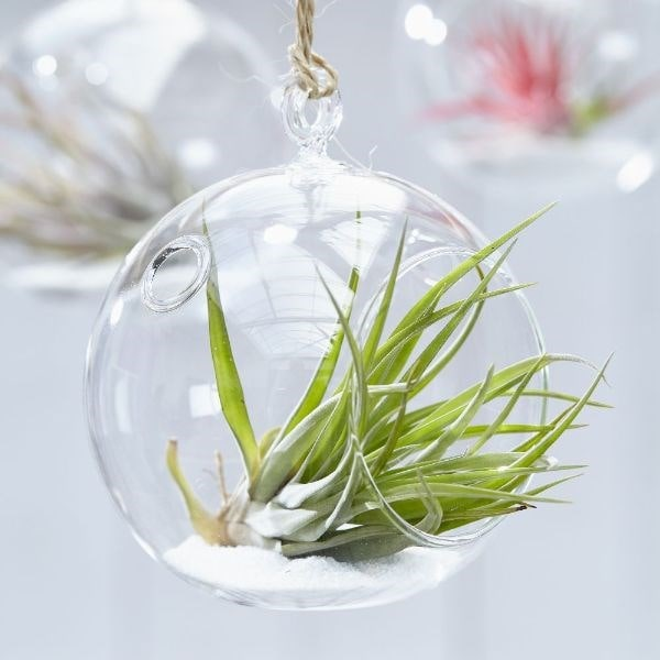 air plant / Tillandsia multiflora in a hanging glass globe
