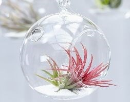 air plant /  Tillandsia ionantha in a hanging glass globe
