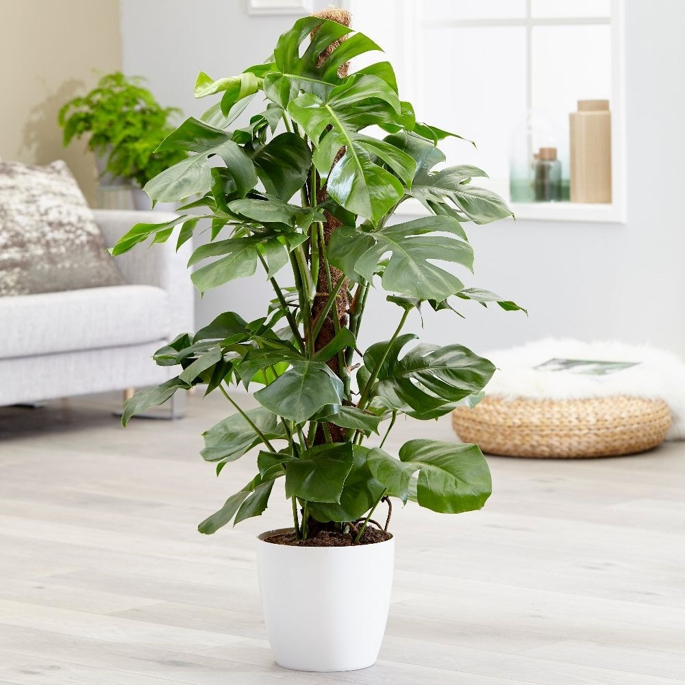 Extra Large 1.2m swiss cheese plant - Monstera deliciosa & pot cover combination
