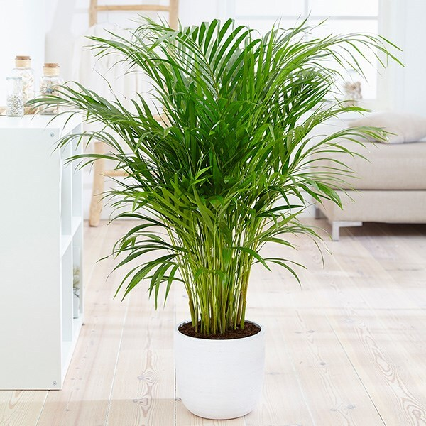 areca palm / bamboo palm 21cm pot - 1m- Dypsis lutescens & pot cover combination