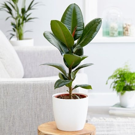 Ficus elastica Robusta and pot cover