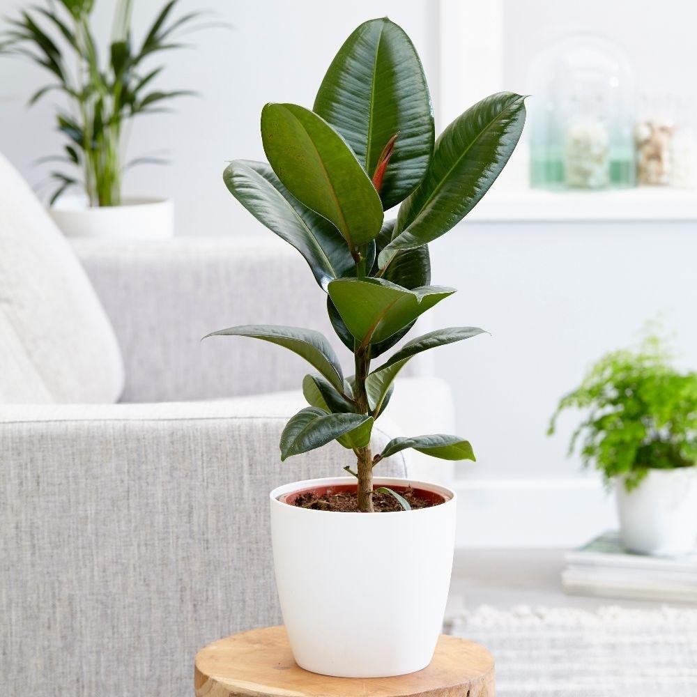 rubber plant Ficus elastica 'Robusta' & pot cover combination