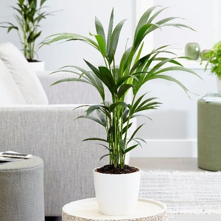 Howea forsteriana and pot cover