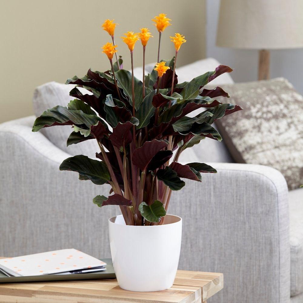 eternal flame - Goeppertia 'Tassmania' & pot cover combination