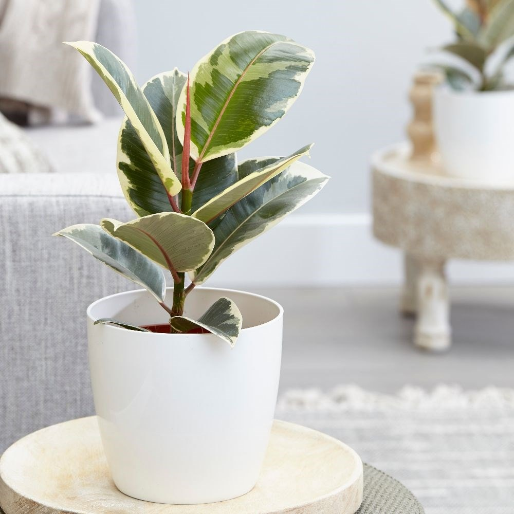 rubber plant - Ficus elastica 'Tineke' & pot cover combination