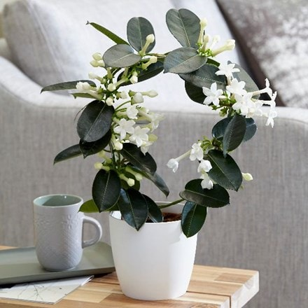 Stephanotis floribunda and pot cover