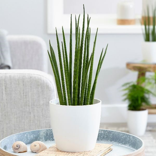 Sansevieria 'Mikado' - snake plant & pot cover combination