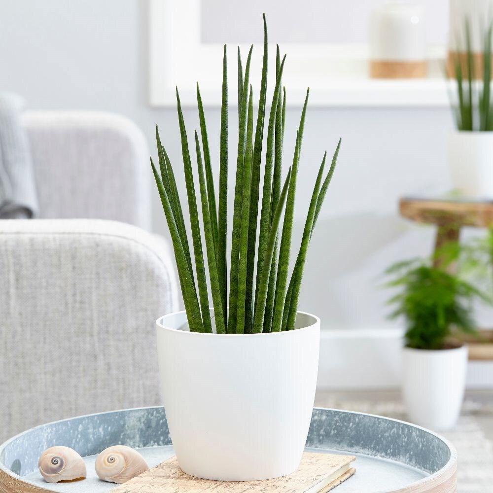 snake plant - Sansevieria 'Mikado' & pot cover combination