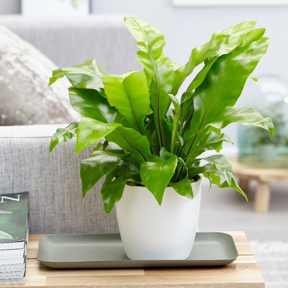 birds nest fern - Asplenium nidus & pot cover combination