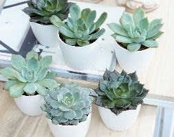 Echeveria starter collection and pot covers
