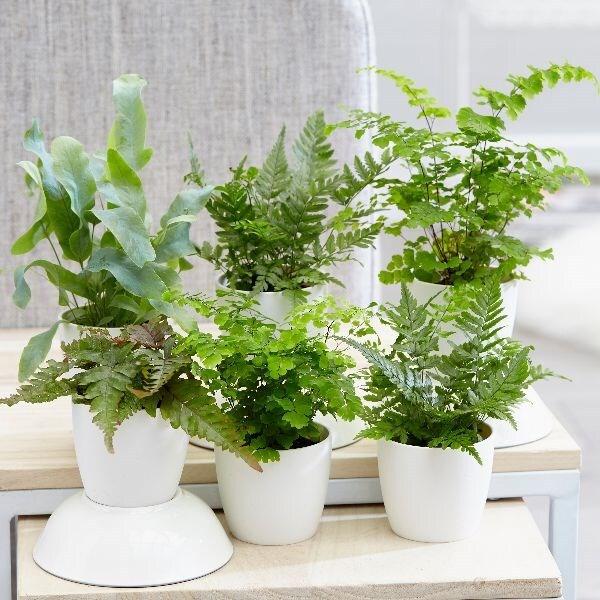 Epipremnum pinnatum Pot size 17cm Height Money Plant 70cm