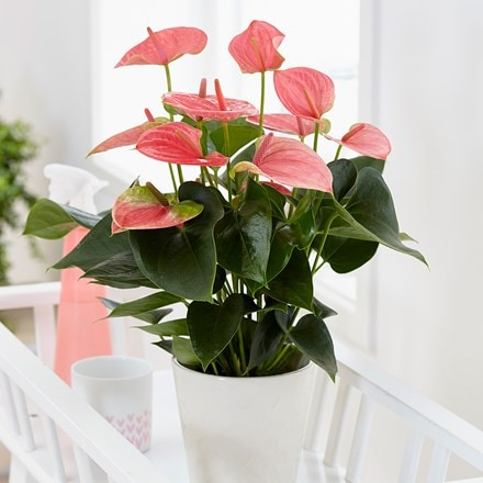 Anthurium Pink Champion (PBR) and pot cover