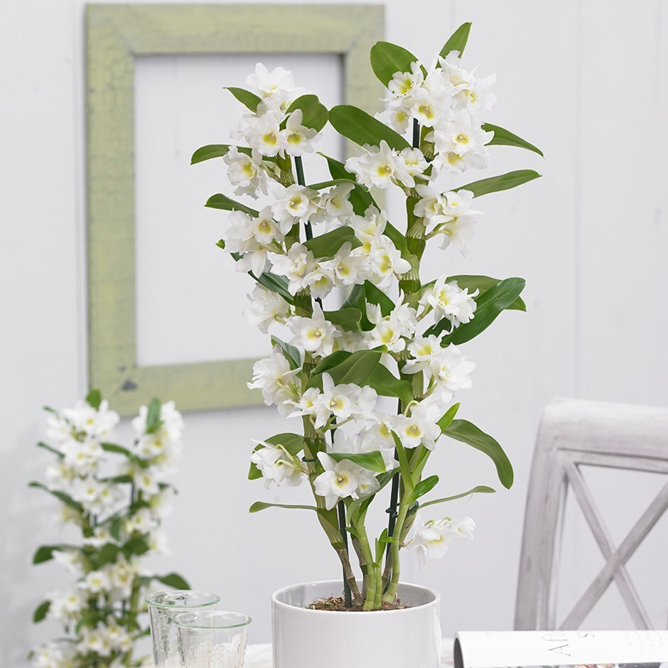 Dendrobium 'Spring Dream' - white orchid & pot cover combination