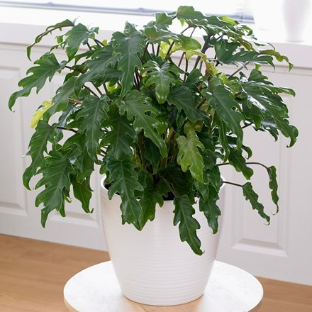 Philodendron xanadu and pot cover