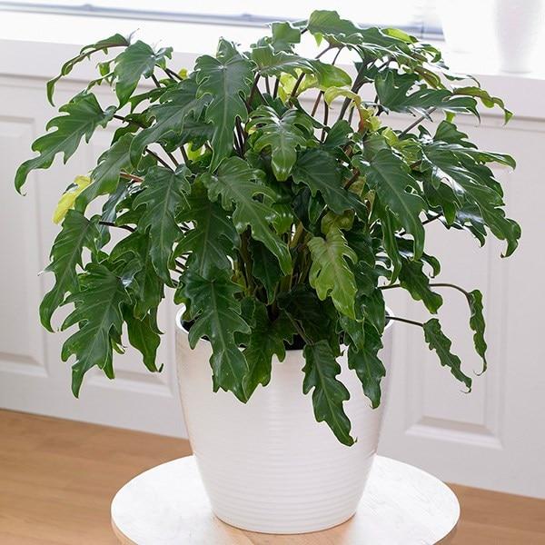 Philodendron xanadu & pot cover combination