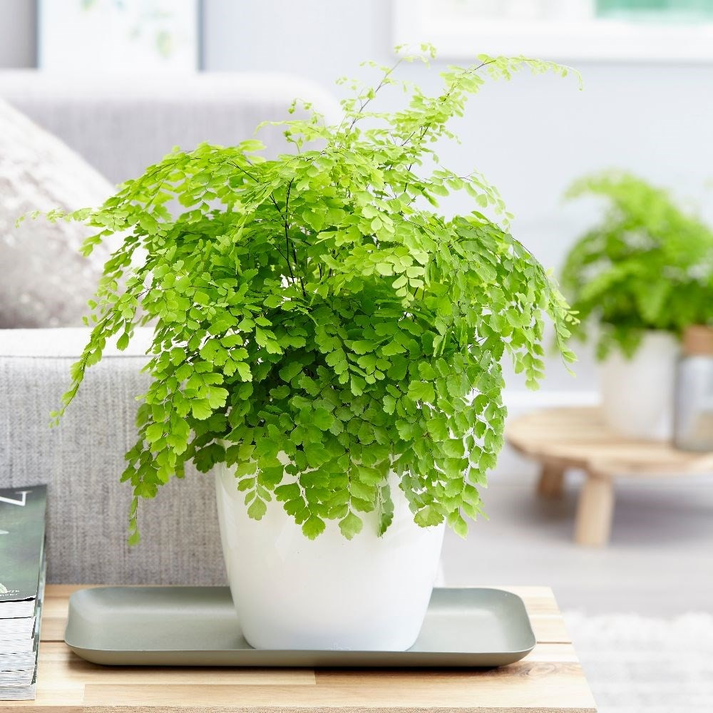 maidenhair fern - Adiantum 'Fragrans' & pot cover combination
