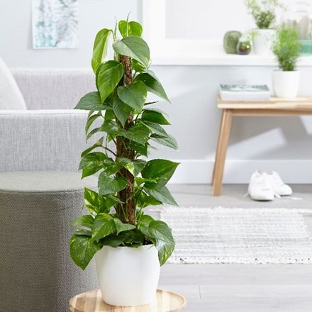 Epipremnum Aureum and pot cover